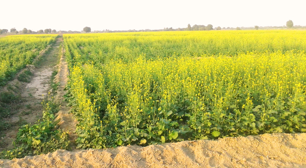 Mustard (sarsoon) fields, Kunri
