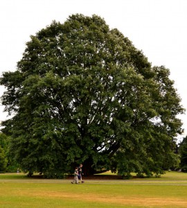 Chestnut Oak - one of the oldest trees in Kew Gardens. Took this photo especially when a couple was passing in front of it, so that its huge size can be appreciated.